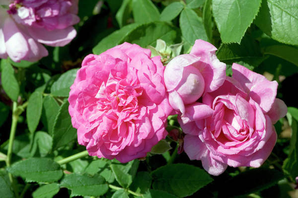 Hybrid Rose Photograph - Damask Rose (rosa X Damascena 'ispahan') by Brian Gadsby/science Photo Library