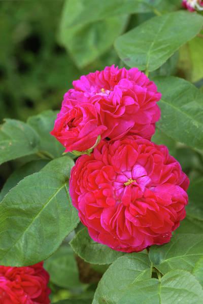 Hybrid Rose Photograph - Damask Roses (rosa 'rose De Rescht') by Neil Joy/science Photo Library