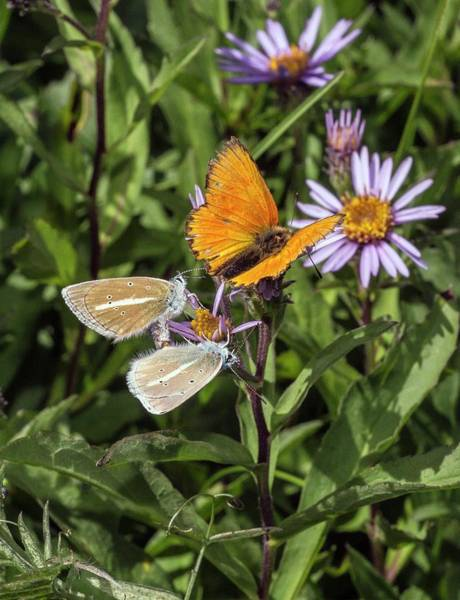 Copper Mountain Photograph - Damon Blue And Scarce Copper Butterflies On Aster by Bob Gibbons/science Photo Library