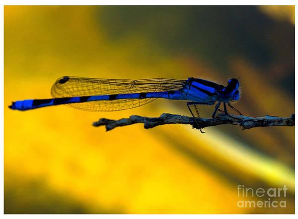 Photograph - Damsel Fly by Mae Wertz