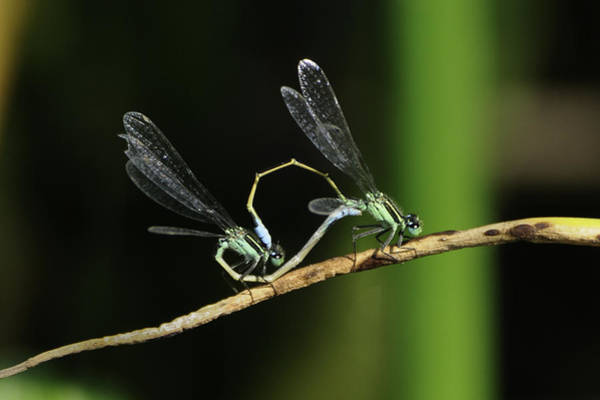 Photograph - Damselflies Mating by Bradford Martin