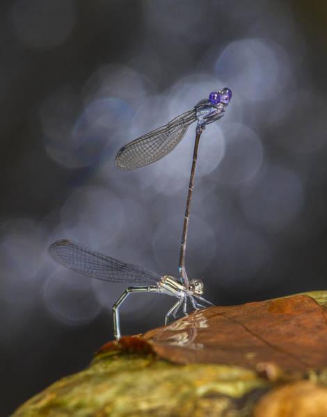 Photograph - Damselflies Mating by Steven Schwartzman