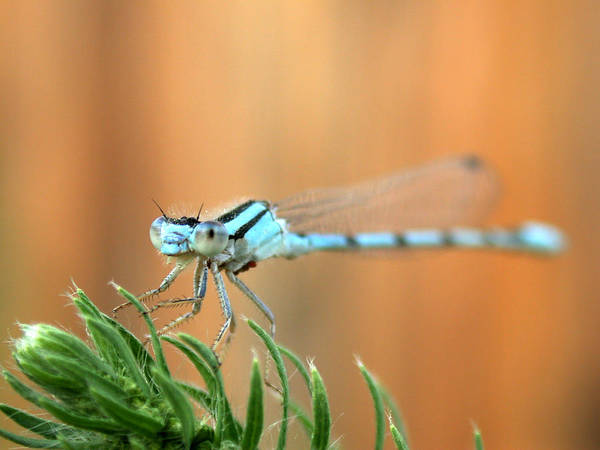 Photograph - Damselfly by Shane Bechler