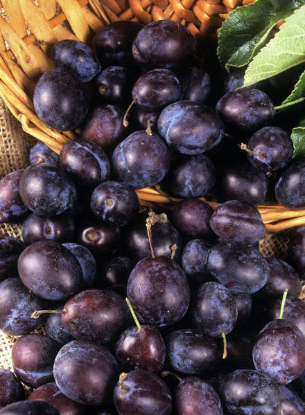 Wall Art - Photograph - Damson Fruit by Ray Lacey/science Photo Library