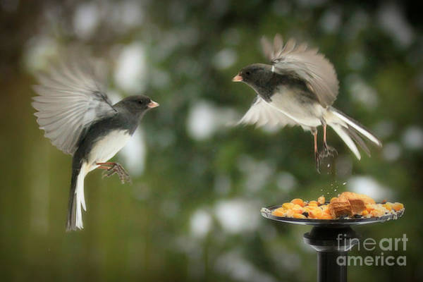 Dark Eyed Junco Photograph - Dance Of The Juncos by Heidi Piccerelli