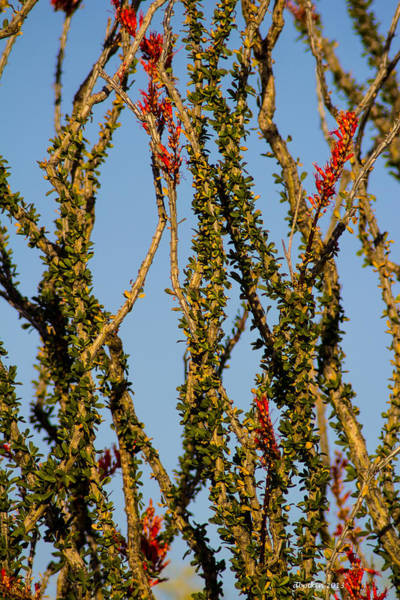Wall Art - Photograph - Dance Of The Ocotillo by Dick Botkin