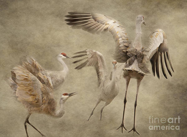 Dance Of The Sandhill Crane Art Print