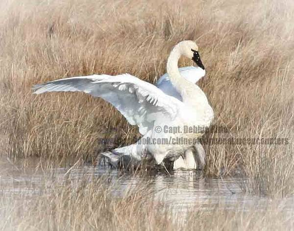 Photograph - Dance Of The Swan by Captain Debbie Ritter