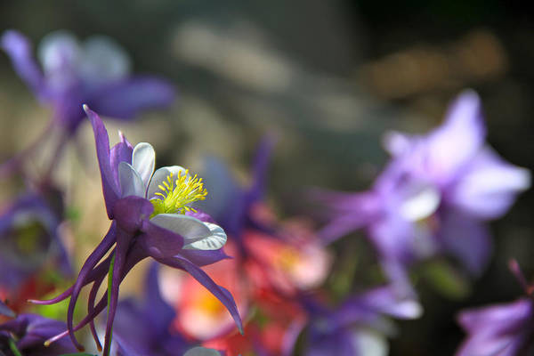 Photograph - Dance With The Blue Columbine by Ed  Riche