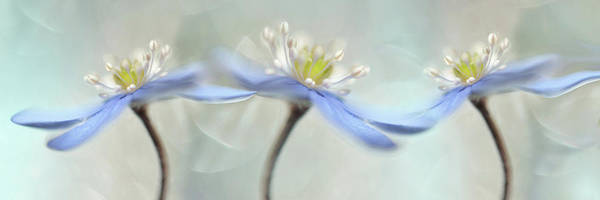 Soft Color Photograph - Dancing Anemones by Heidi Westum