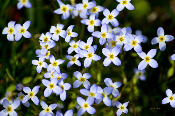 Photograph - Spring Bluet Flowers by Christina Rollo