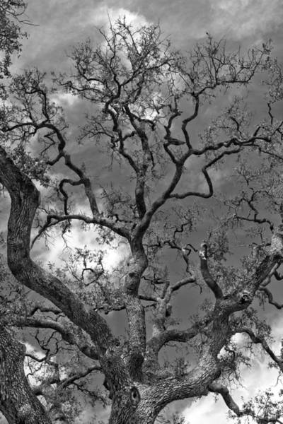 Photograph - Dancing Branches B W by Jemmy Archer