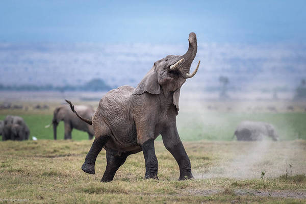 Amboseli Wall Art - Photograph - Dancing Elephant by Jeffrey C. Sink