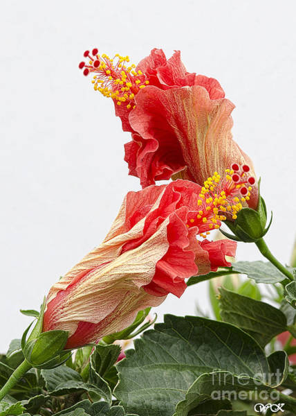Photograph - Dancing Hibiscus by Wanda Krack