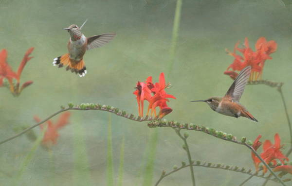 Rufous Hummingbird Wall Art - Photograph - Dancing In The Flowers by Angie Vogel