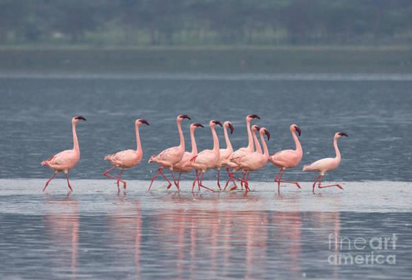 Photograph - Dancing Pink Flamingos  by Chris Scroggins