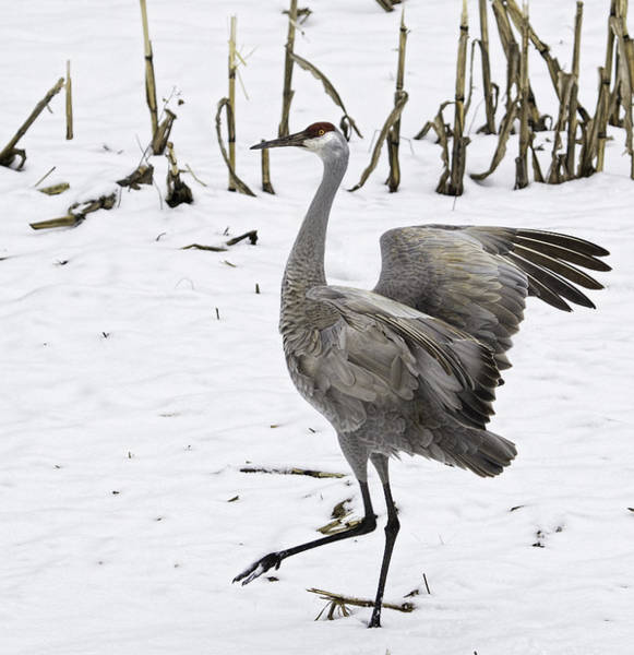Photograph - Dancing Sandhill Crane by Thomas Young