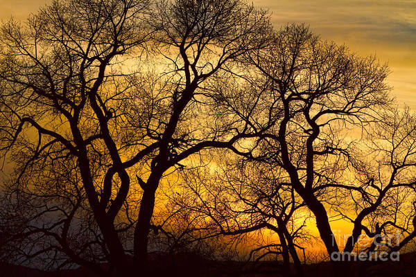 Photograph - Dancing Trees Golden Sunset by James BO Insogna