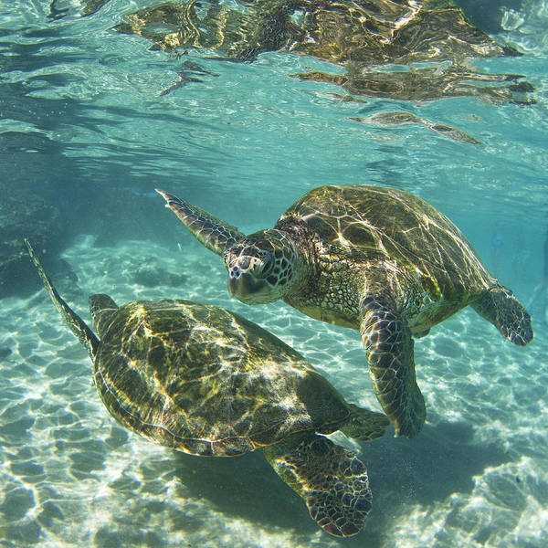 Turtle Photograph - Dancing Turtles by James Roemmling