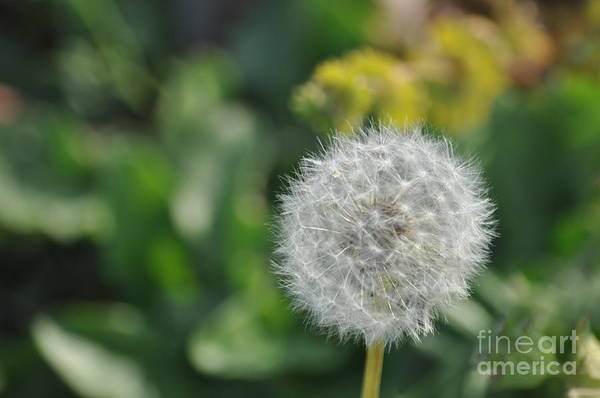 Wall Art - Photograph - Dandelion by Affini Woodley