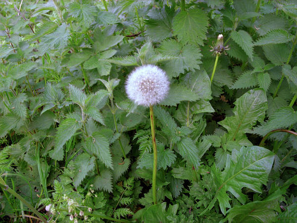 Wall Art - Photograph - Dandelion And Nettles by Robert Brook/science Photo Library