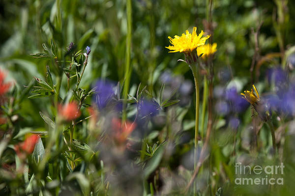 Photograph - Dandelion And Wildflowers by Cindy Singleton