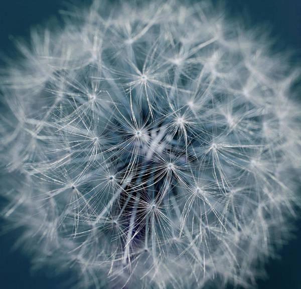 Fragility Photograph - Dandelion by Andrew Dernie