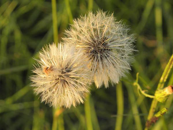 Photograph - Dandelion Blooms by Nada Meeks