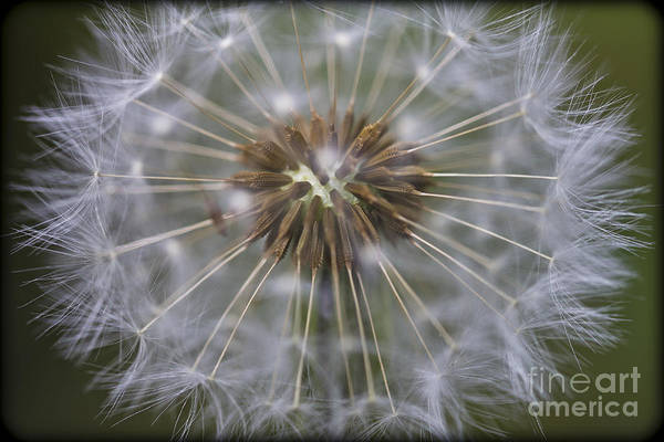 Photograph - Dandelion Clock - Seeds. by Clare Bambers