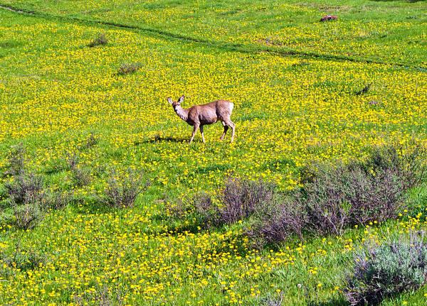 Photograph - Dandelion Deer by Rick Wicker