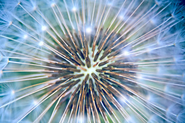 Photograph - Dandelion Fireworks by Peggy Collins