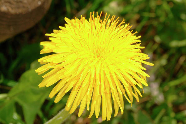 Taraxacum Photograph - Dandelion Flower (taraxacum Officinale) by Bildagentur-online/th Foto/science Photo Library