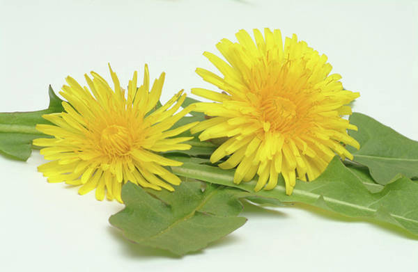 Taraxacum Photograph - Dandelion Flowers And Leaves by Bildagentur-online/th Foto/science Photo Library