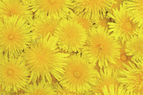 Taraxacum Photograph - Dandelion Flowers (taraxacum Officinale) by Bildagentur-online/th Foto/science Photo Library