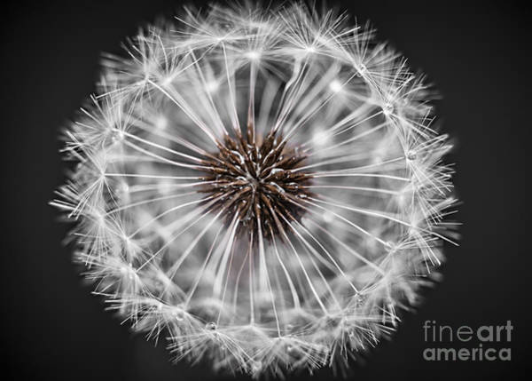 Seed Head Wall Art - Photograph - Dandelion Head Closeup by Elena Elisseeva