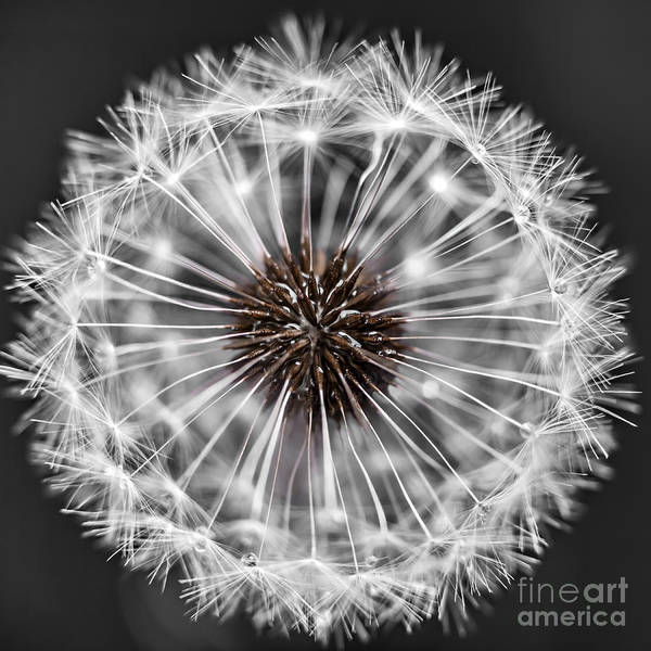 Seed Head Wall Art - Photograph - Dandelion Head by Elena Elisseeva