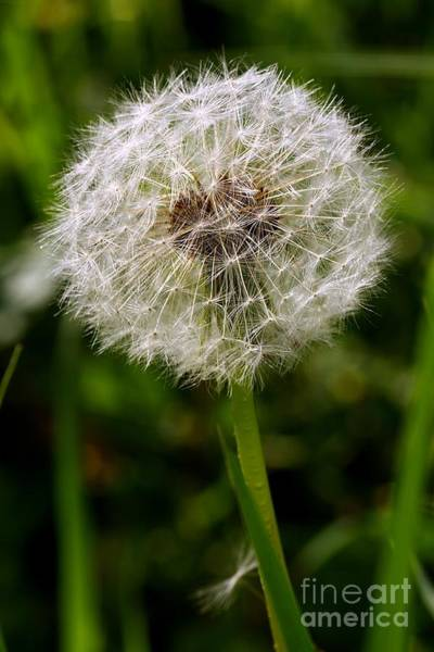 Photograph - Dandelion by Jeremy Hayden