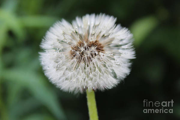 Photograph - Dandelion by Kate Avery