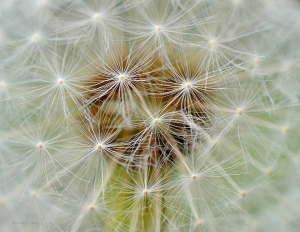 Photograph - Dandelion Matrix by Andrea Platt