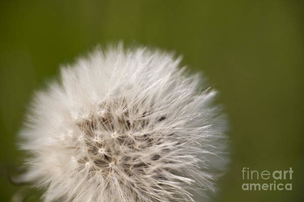 Nikon Photograph - Dandelion by Michael Ver Sprill