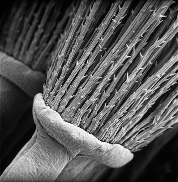Dicot Wall Art - Photograph - Dandelion by Natural History Museum, London