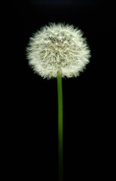 Bertrand Photograph - Dandelion  On A Black Background by Bertrand Demee