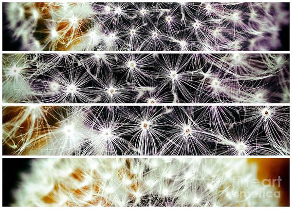 Photograph - Dandelion Panels by John Rizzuto