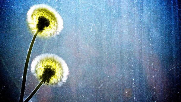 Wall Art - Photograph - Dandelion Parachute Balls by Bob Orsillo