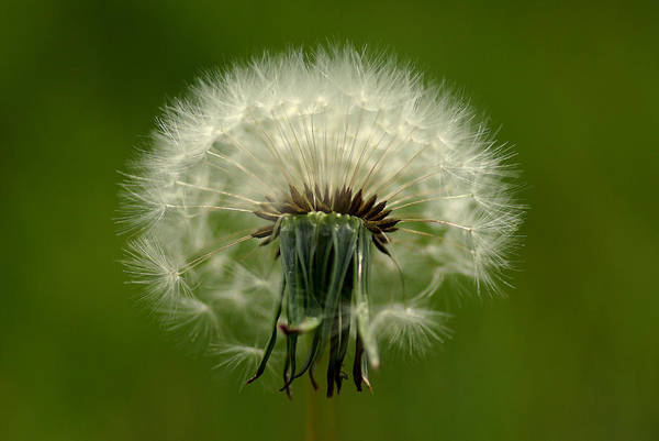 Photograph - Dandelion by Pete Hemington