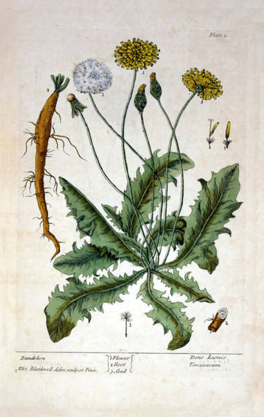 Taraxacum Photograph - Dandelion Plant by National Library Of Medicine