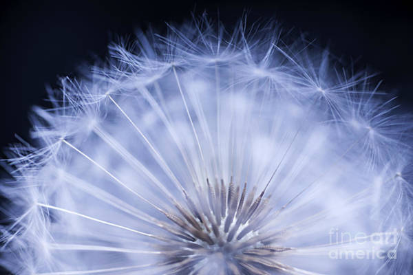 Seed Head Wall Art - Photograph - Dandelion Rising by Elena Elisseeva