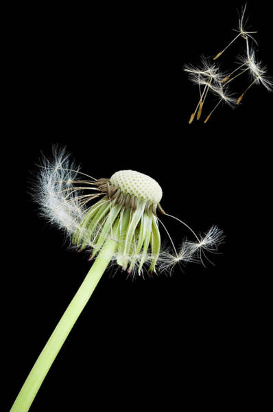 Taraxacum Photograph - Dandelion Seed Dispersal (taraxacum Sp.) by Paul Whitehill/science Photo Library