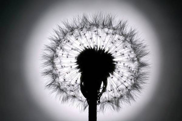 Taraxacum Photograph - Dandelion Seed Head by Daniel Sambraus/science Photo Library