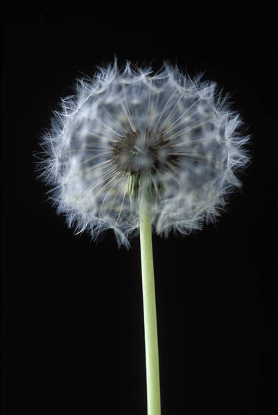 Taraxacum Photograph - Dandelion Seed-head by Gustoimages/science Photo Library